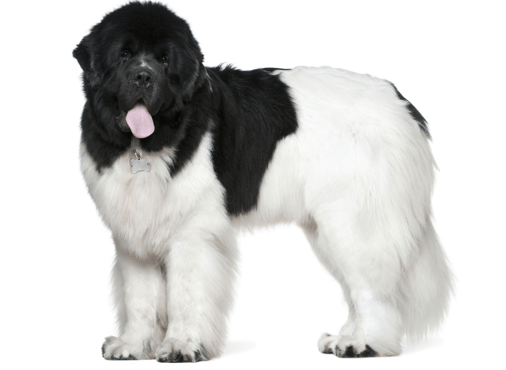 Newfoundland Puppies For In