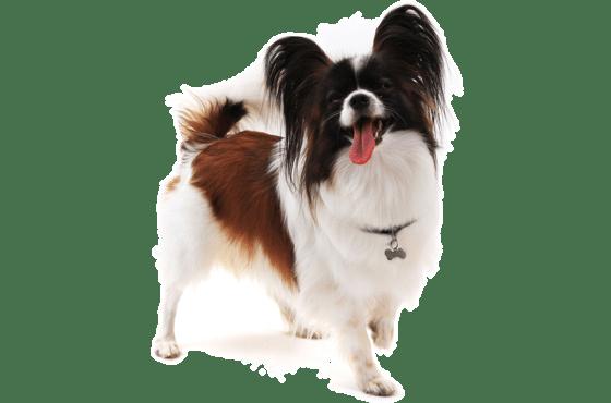 Papillon Puppies for Sale in Illinois - Adoptapet com