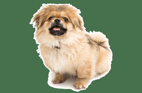 Pekingese Puppies for Sale in Alabama - Adoptapet com