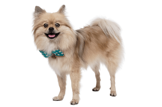 Pomeranian Puppies For Sale In Colorado Adoptapetcom