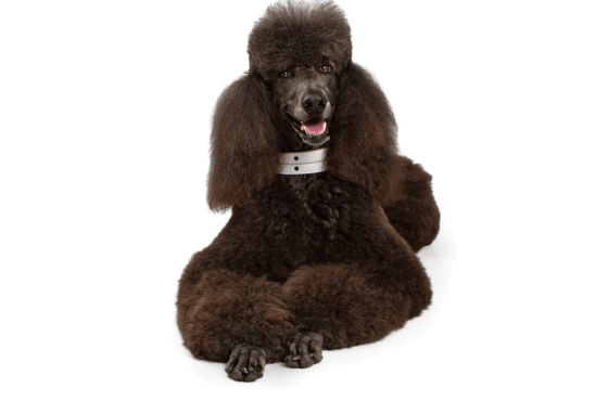 Poodle Standard Puppies For Sale In Pennsylvania