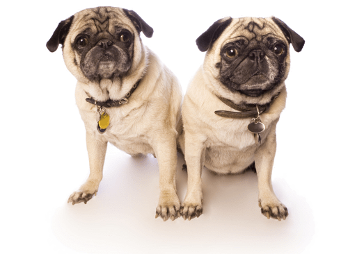 Pug Puppies for Sale in Indiana - Adoptapet com