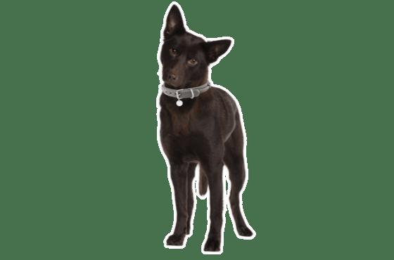 Australian Kelpie Puppies For Sale In Denver Colorado Adoptapet Com