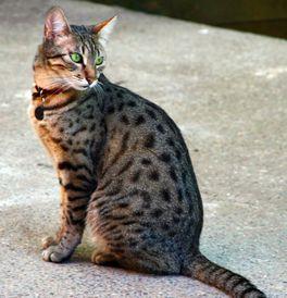 Egyptian Mau Kittens For Sale Adoptapet Com