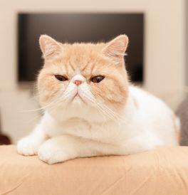 Exotic Kittens for Sale - Adoptapet com