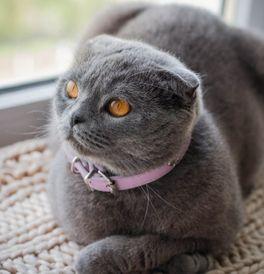 Scottish Fold Kittens for Sale - Adoptapet com