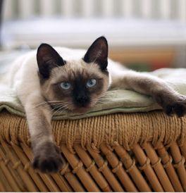 Tonkinese Kittens For Sale Adoptapet Com