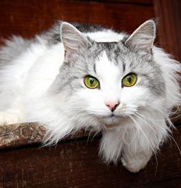Siberian Kittens For Sale Adoptapet Com