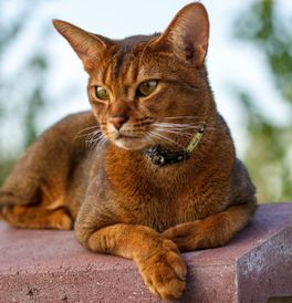 Abyssinian Cat Adoption Florida