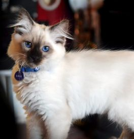 Foroffice Balinese Cat Price