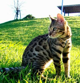 Bengal Kittens for Sale - Adoptapet com