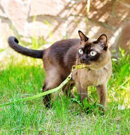 Burmese Kittens For Sale Adoptapet Com