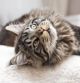 Maine Coon Kittens For Sale Adoptapet Com