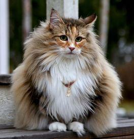 Norwegian Forest Cat Kittens For Sale Adoptapet Com