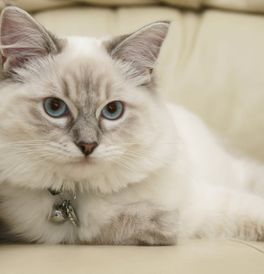 Ragdoll Kittens for Sale - Adoptapet com