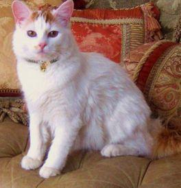 1147bce393 Turkish Van Kittens   Cats