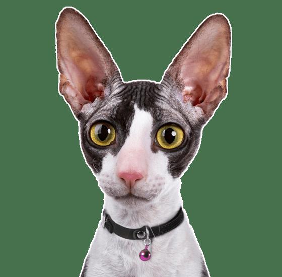 Cornish Rex Kittens for Sale - Adoptapet com