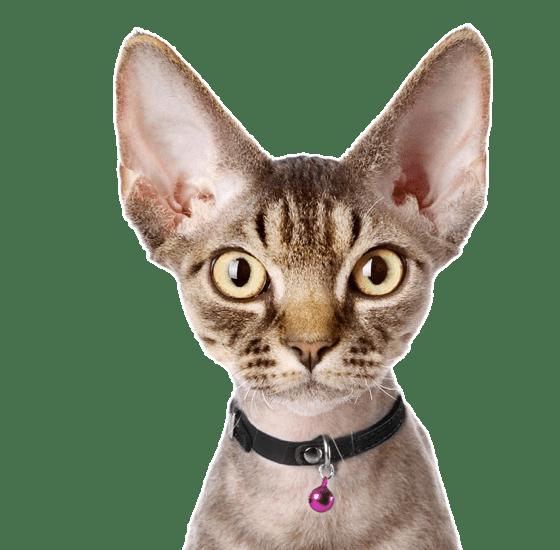Devon Rex Kittens For Sale Adoptapet Com