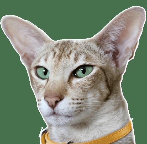 Javanese Kittens For Sale Adoptapet Com