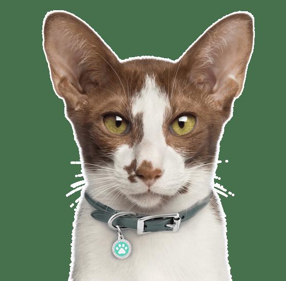 Oriental Kittens For Sale Adoptapet Com