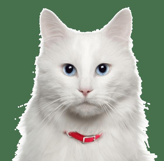 19079e8650 Turkish Angora Kittens   Cats