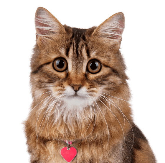 Maine Coon Kittens for Sale - Adoptapet com