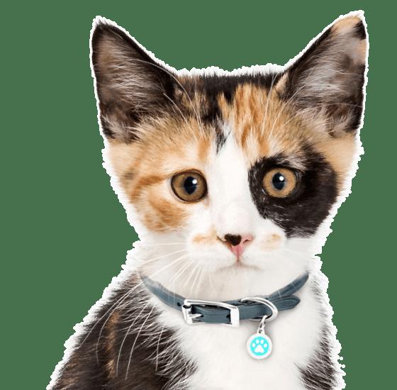 Calico Kittens For Sale Adoptapet Com