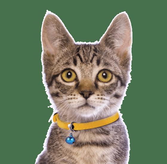Munchkin Kittens for Sale - Adoptapet com