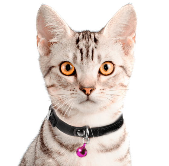 American Shorthair Cat Face