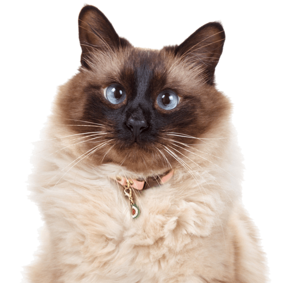 Snowshoe Kittens for Sale - Adoptapet com