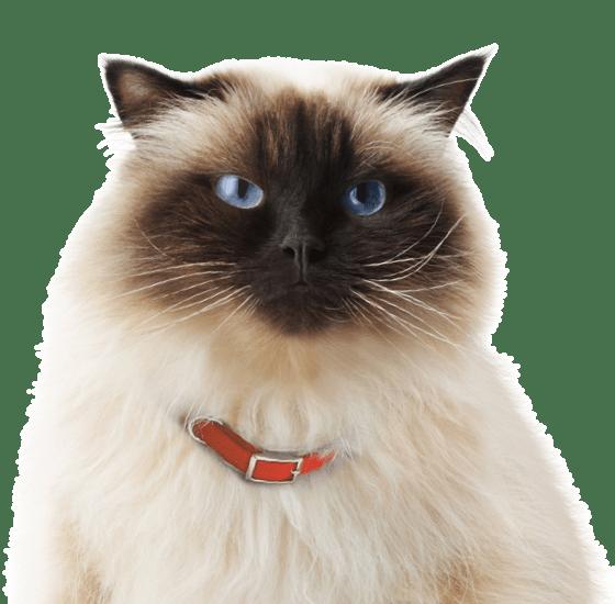 957f4e844099cb Himalayan Kittens   Cats