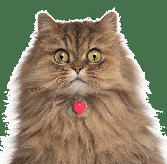 Persian Kittens For Sale Adoptapet Com