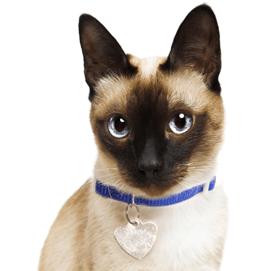 Siamese Kittens For Sale Adoptapet Com
