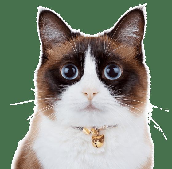 Balinese Kittens For Sale Adoptapet Com