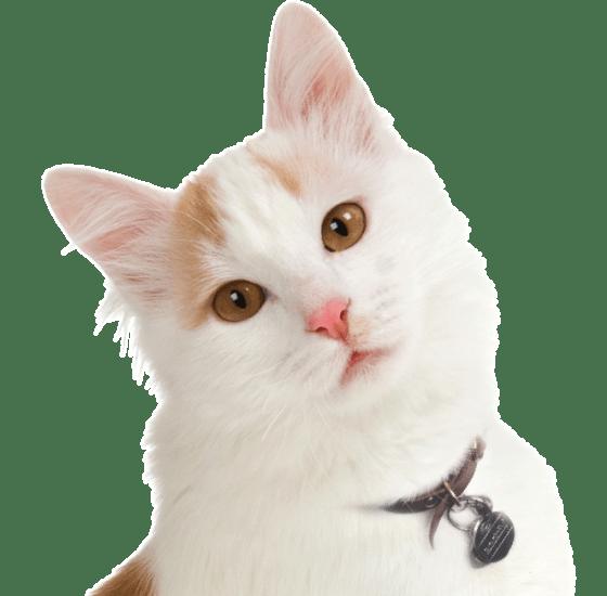 76472b2e1fd76a Turkish Van Kittens   Cats