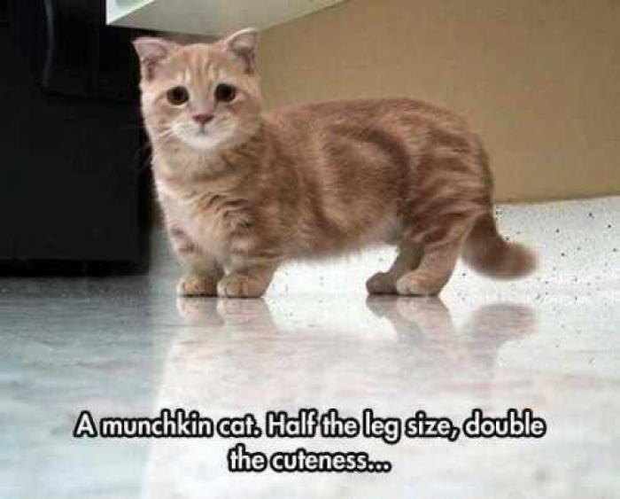 Munchkin Kittens For Sale Adoptapet Com